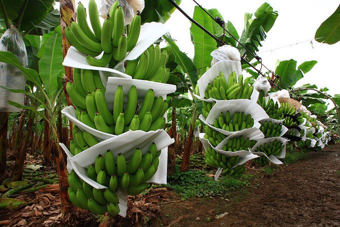 , Banana companies invest in sustainability, efficiencies, The Circular Economy
