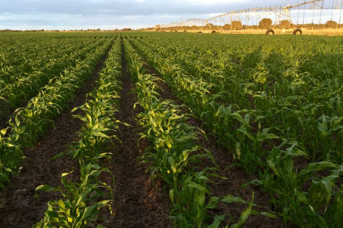 Corn grower declares war on waste by eliminating millions of single-use plastic trays
