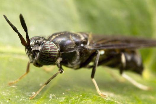 Bug farming set to create a buzz in Scotland – The Scotsman, The Circular Economy