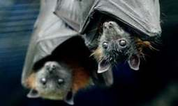 , Bats are worth $3.7bn to US agriculture | Guardian Sustainable Business, The Circular Economy, The Circular Economy