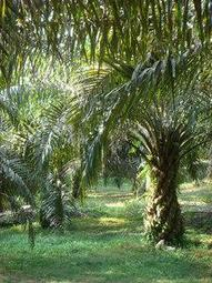 , Sustainable palm oil? How environmental protection and poverty reduction can be reconciled | EurekAlert! Science News, The Circular Economy
