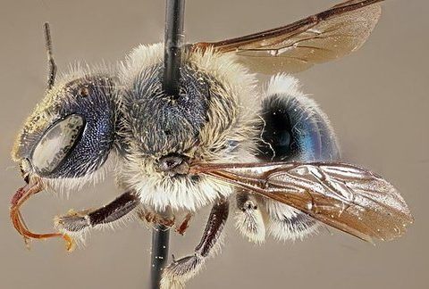 , Scientists rediscover a rare type of blue bee in Florida, once presumed to be extinct, The Circular Economy, The Circular Economy