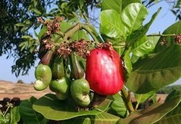 , Cooperative model helping sustainable cashew supply chains in Asia and Africa, The Circular Economy