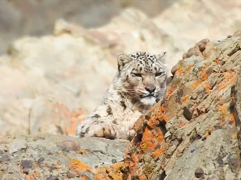 , Snow Leopard: The Ghost of the Brown Mountains|Roundglass|Sustain, The Circular Economy