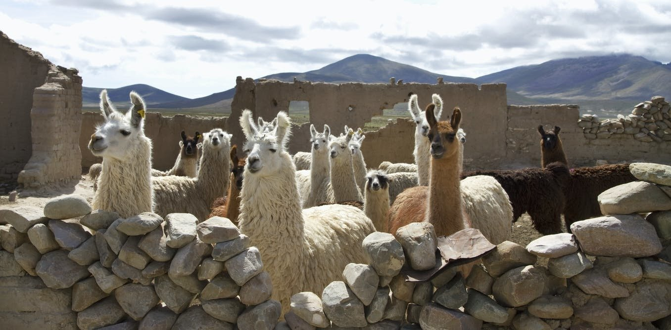 , Llamas are having a moment in the US, but they've been icons in South America for millennia, The Circular Economy