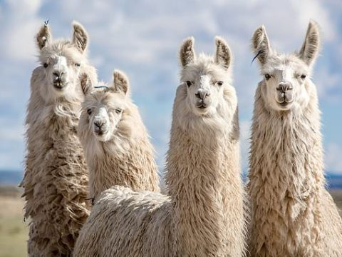 , Sustainable asthma-style inhaler filled with powerful LLAMA antibodies could treat COVID-19, The Circular Economy